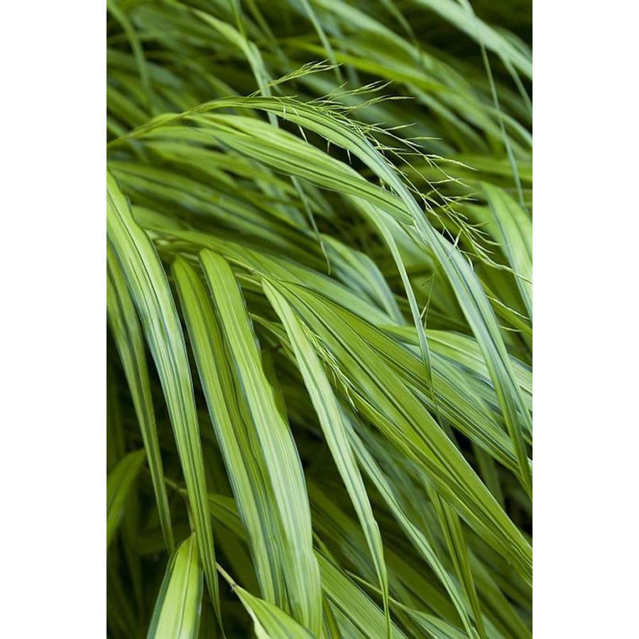 Monrovia 2.6-Quart Golden Japanese Forest Grass