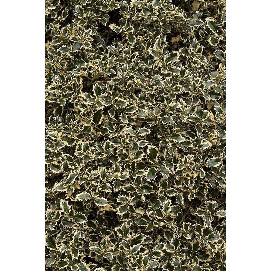 Monrovia 3.58-Gallon Variegated English Holly Foundation/Hedge Shrub