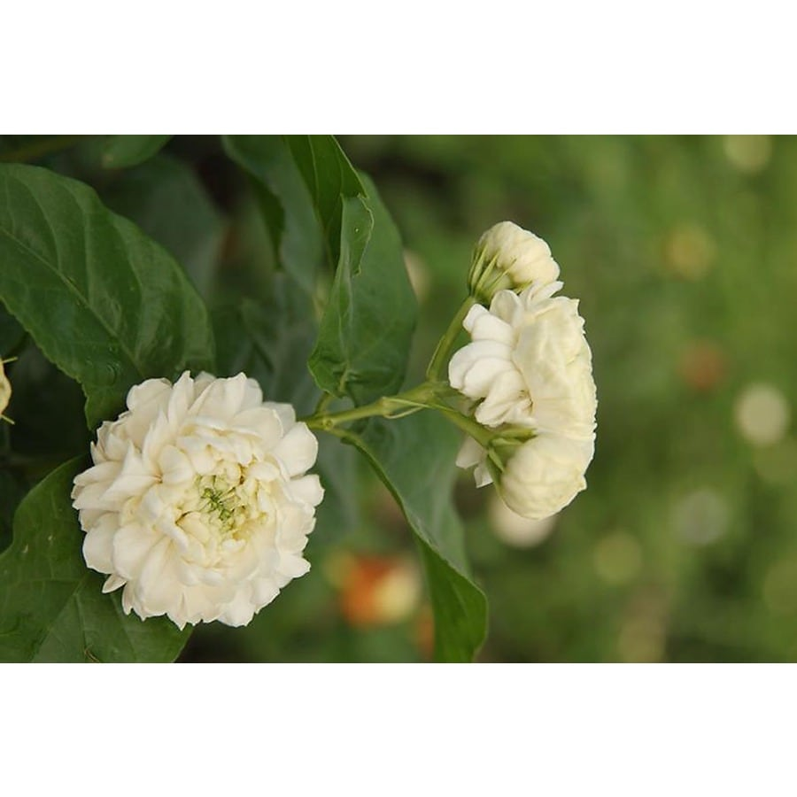 Monrovia 1.6-Gallon White Arabian Jasmine Flowering Shrub