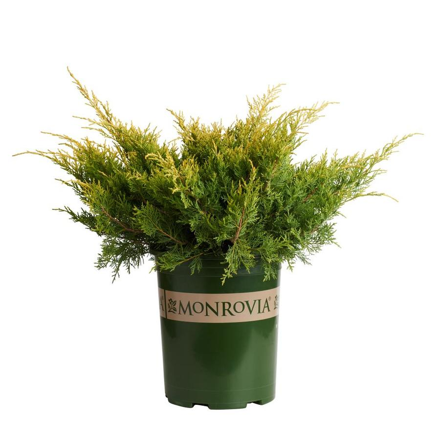 Monrovia 3.58-Gallon Sea of Gold Juniper P17622 Foundation/Hedge Shrub