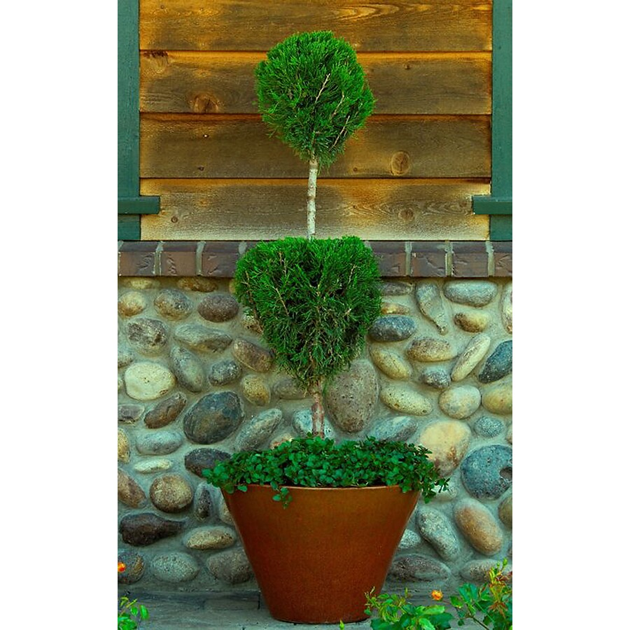 Monrovia 1.6-Gallon Mint Julep Juniper 2-Tier Poodle Accent Shrub