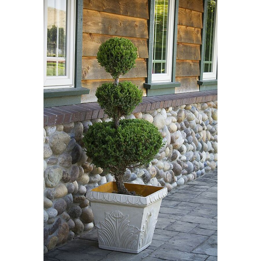 Monrovia 3.58-Gallon San Jose Juniper 3-Tier Poodle Accent Shrub
