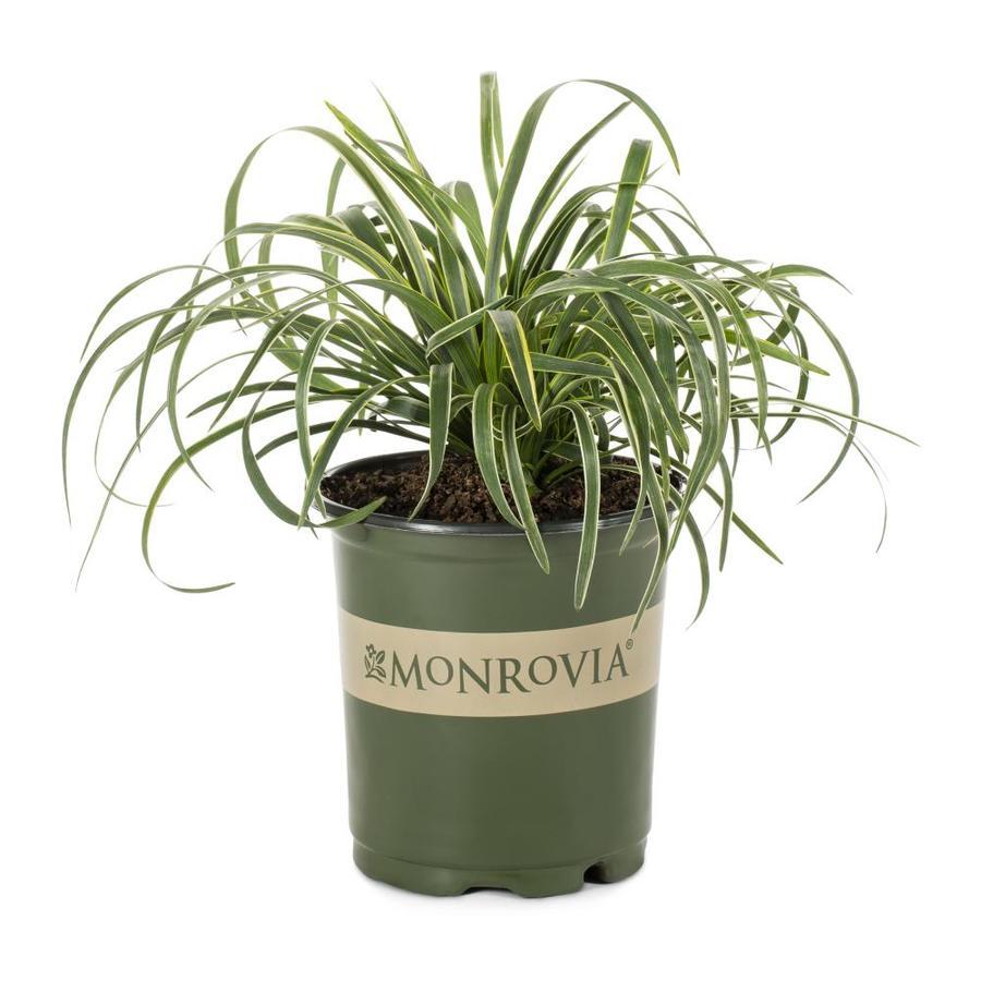 Monrovia 2.6-Quart Silvery Sunproof Lilyturf