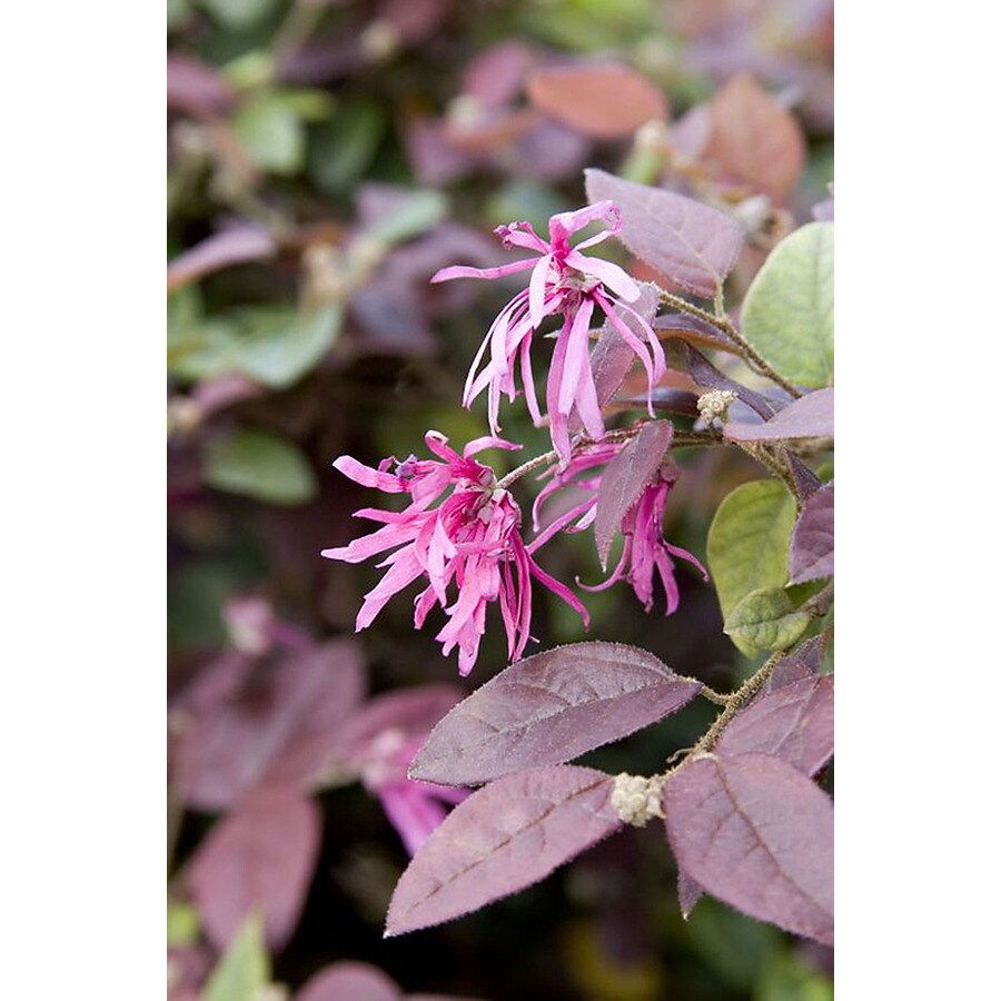 Monrovia 3.58-Gallon Pink Razzleberri Fringe Flower Patio Tree Flowering Shrub