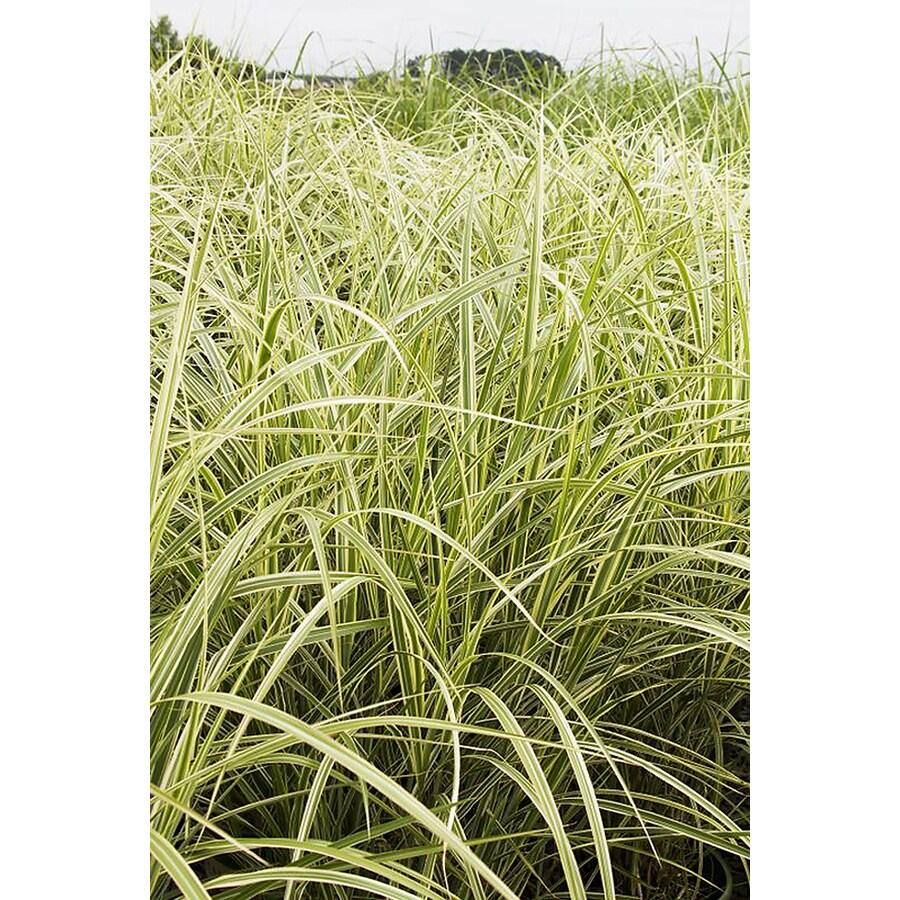 Monrovia 3-Quart Variegated Japanese Silver Grass