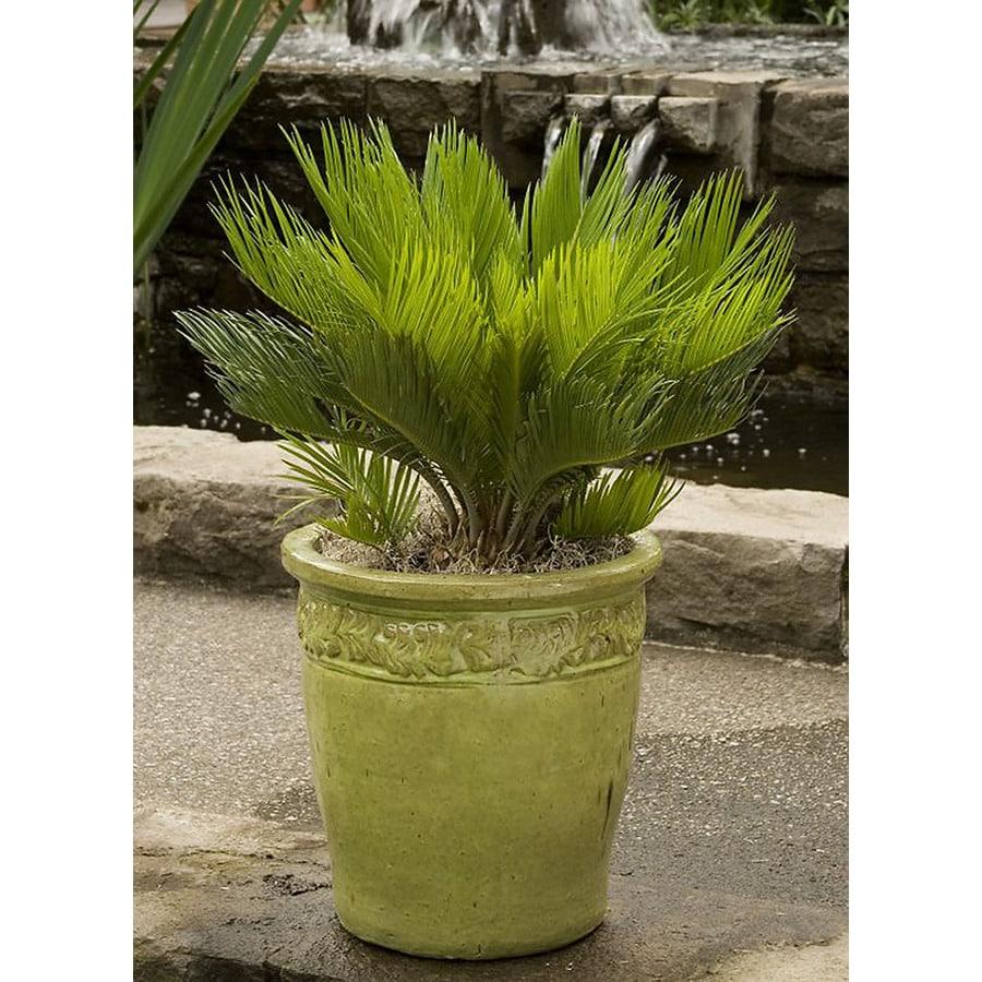 Monrovia 2.6-Quart Sago Palm Feature Tree