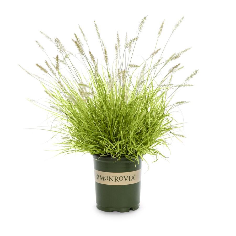 Monrovia 3-Quart Dwarf Fountain Grass
