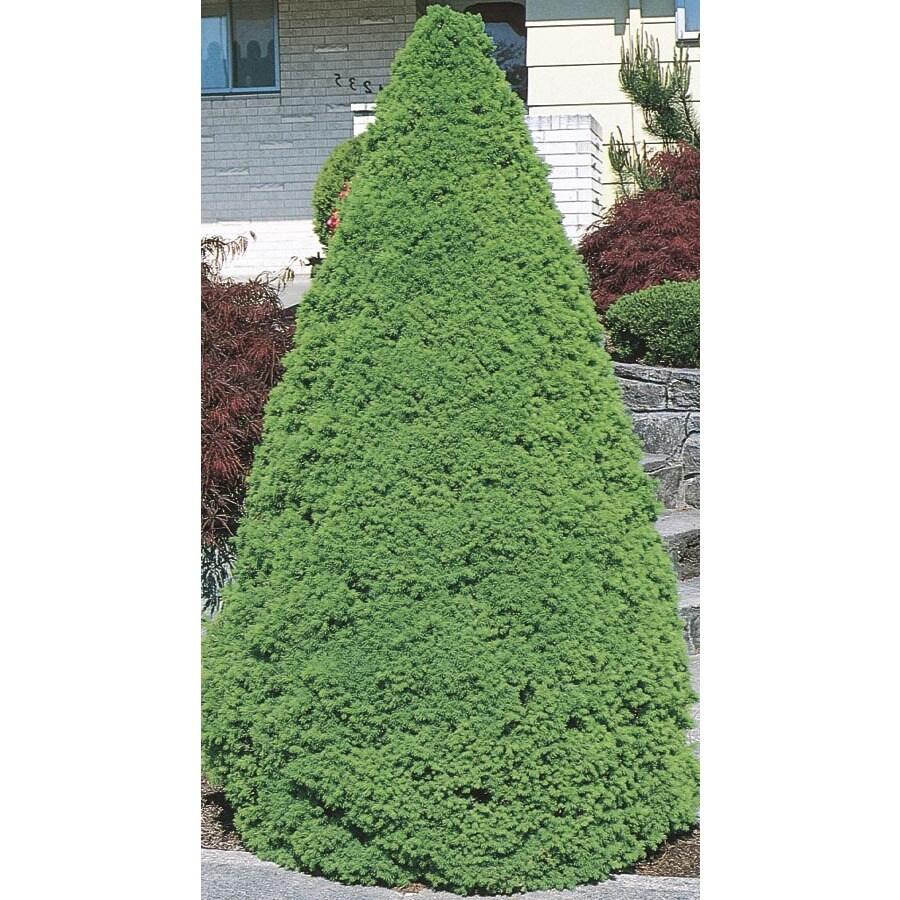 Monrovia 1.6-Gallon Dwarf Alberta Spruce Feature Shrub (L8449)