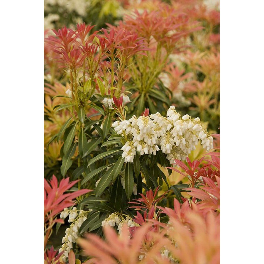 Monrovia 1.6-Gallon White Forest Flame Lily of The Valley Flowering Shrub