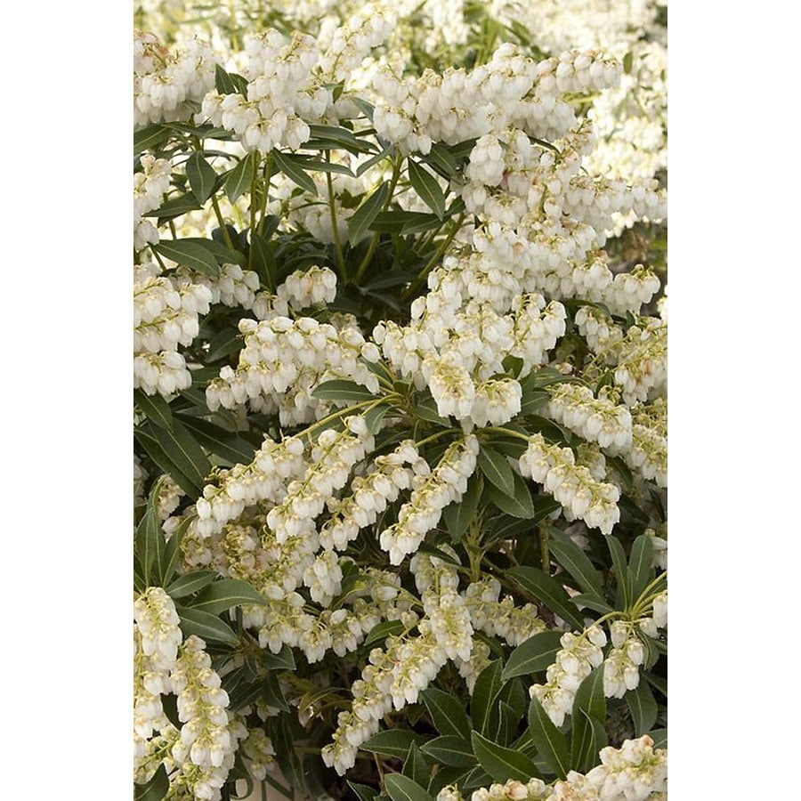 Monrovia 1.6-Gallon White Purity Japanese Lily of The Valley Flowering Shrub