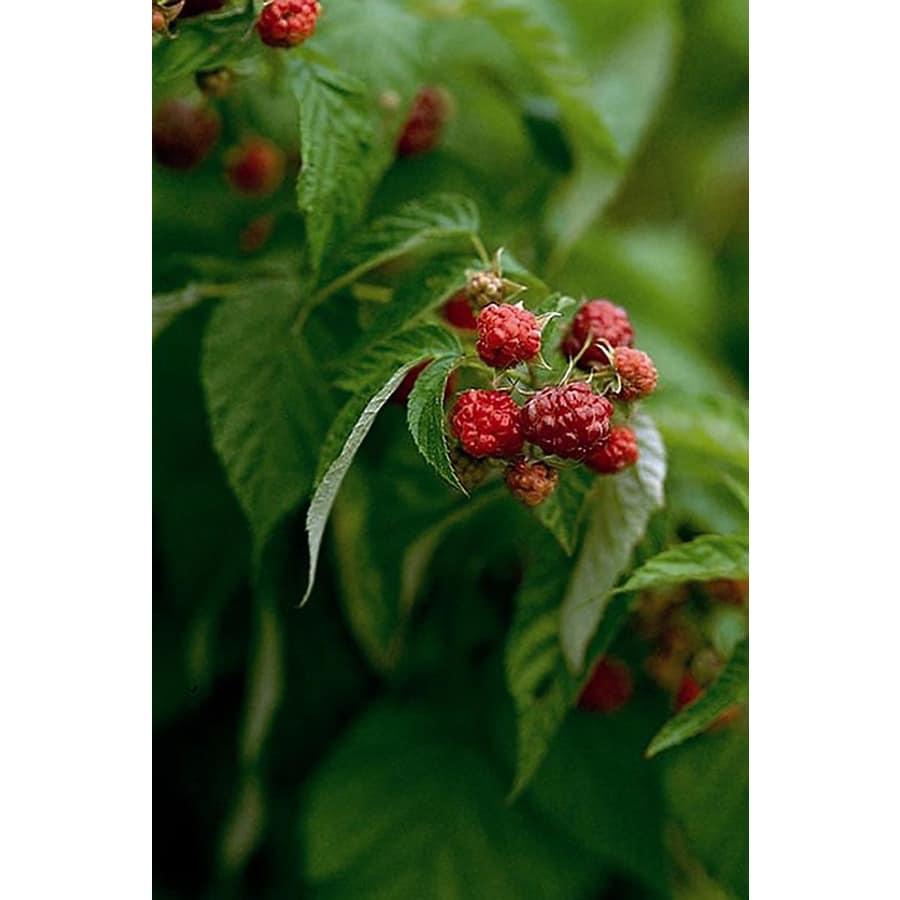 Monrovia 2.6-Quart White Rubus Willamette Raspberry Flowering Shrub