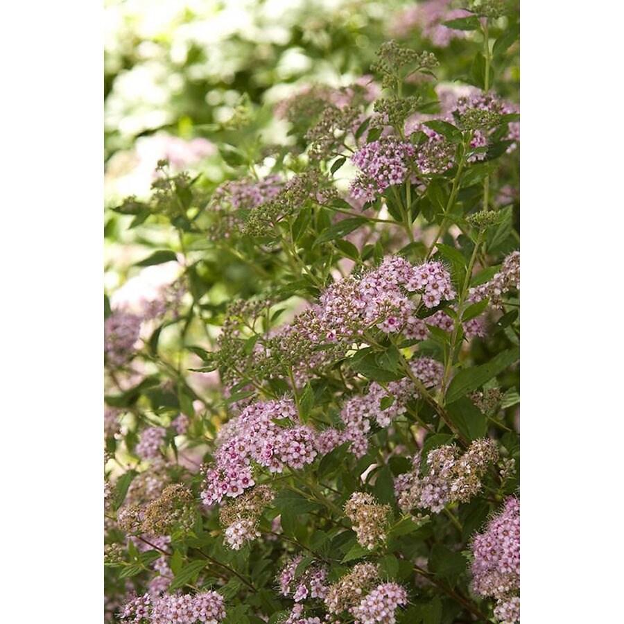 Monrovia 2.6-Quart Pink Little Princess Spirea Flowering Shrub
