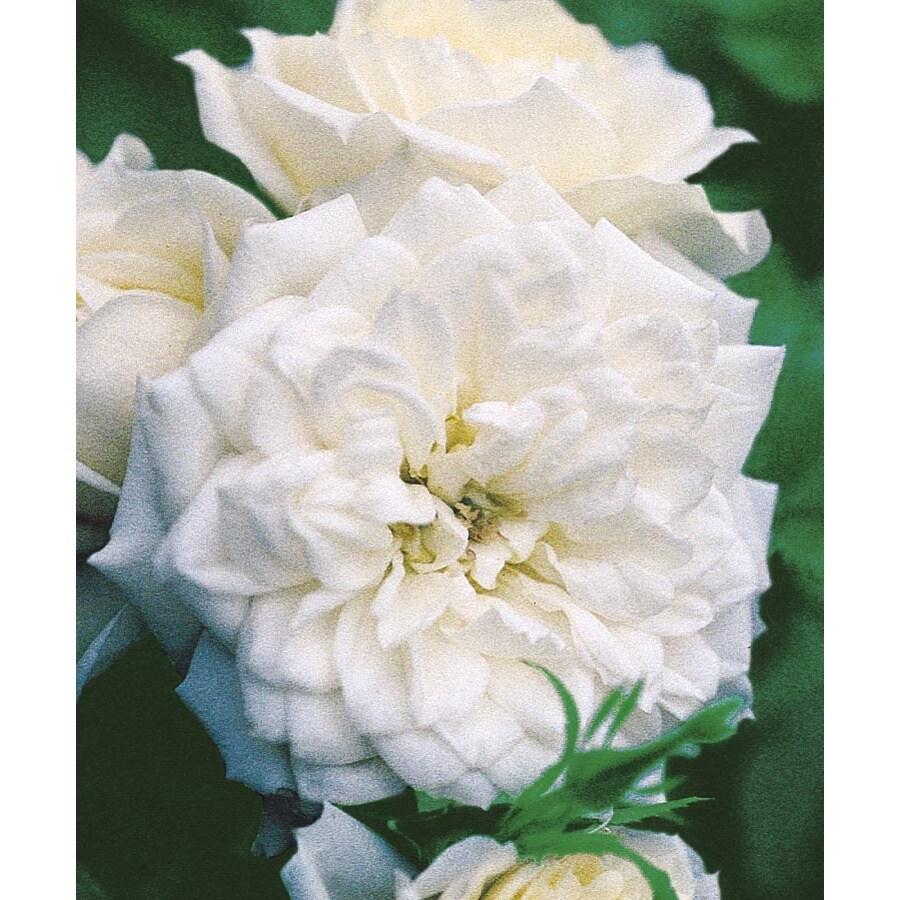 Monrovia 1.6-Gallon Bridal Sunblaze Rose (LW02383)