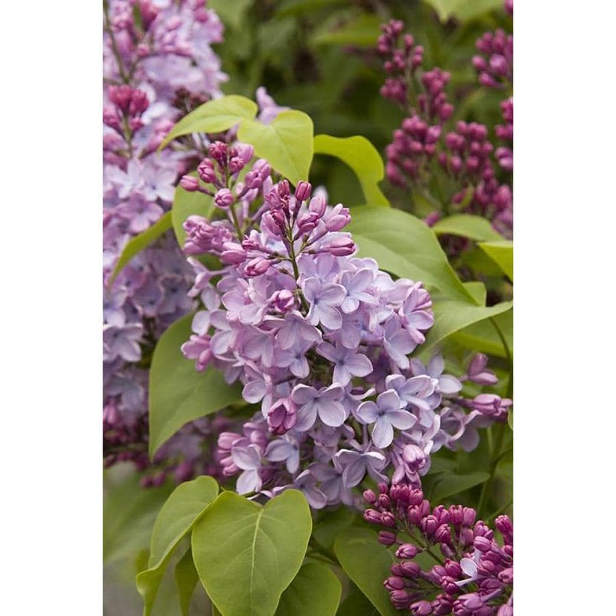 Monrovia 3.58-Gallon Blue Blue Skies Lilac Flowering Shrub