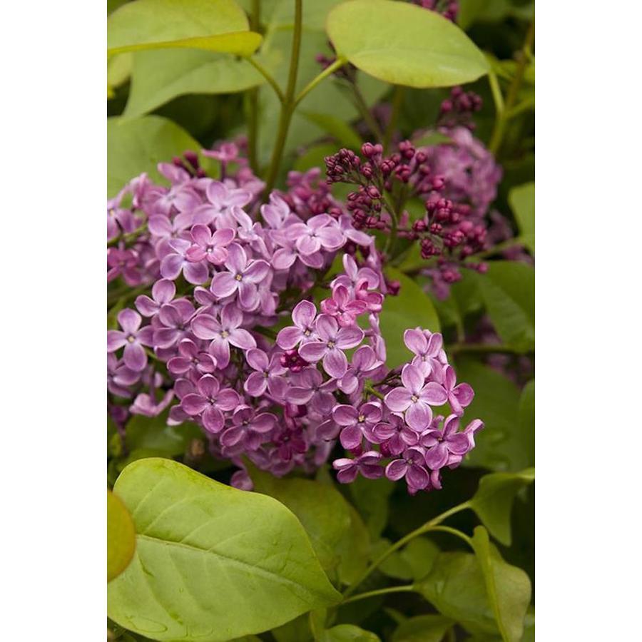 Monrovia 3.58-Gallon Violet Pocahontas Canadian Lilac Flowering Shrub