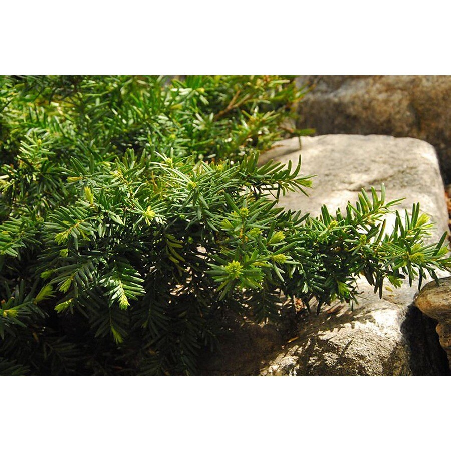 Monrovia 1.6-Gallon Dense Spreading Yew Foundation/Hedge Shrub