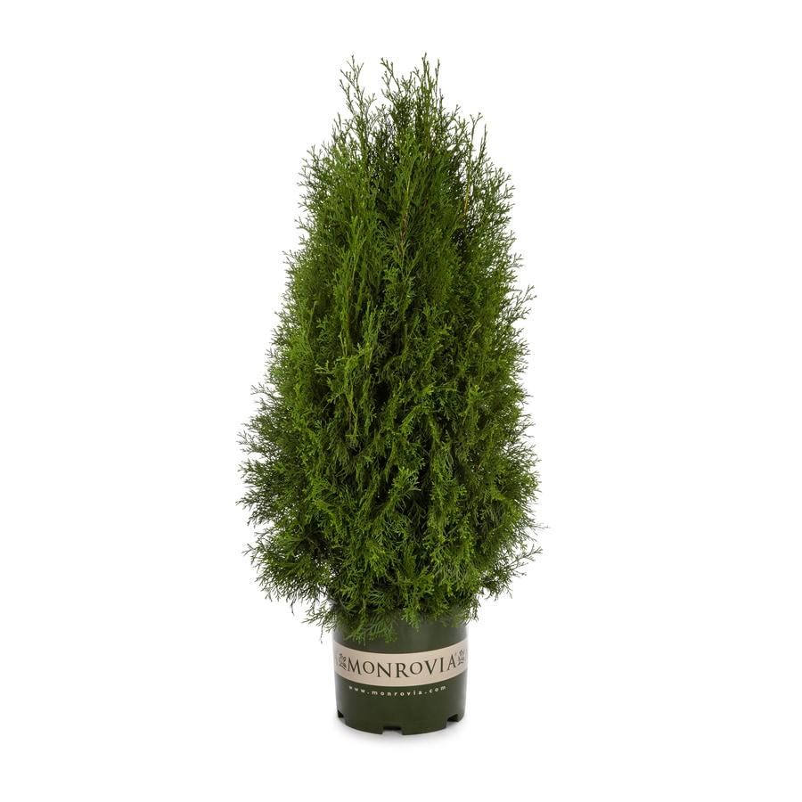 Monrovia 3.58-Gallon Emerald Arborvitae Screening Shrub