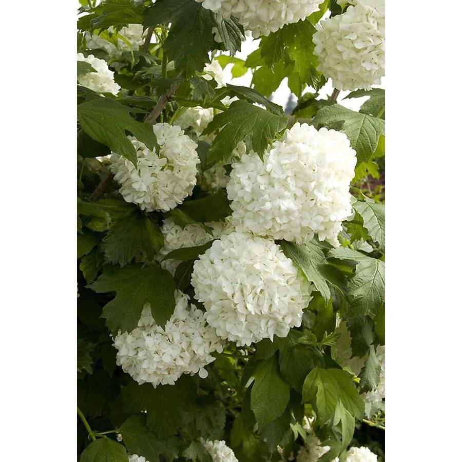 Monrovia 1.6-Gallon White Eastern Snowball Flowering Shrub
