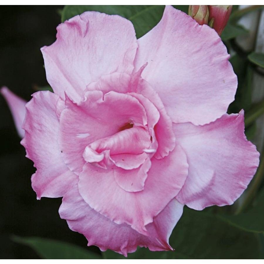 Monrovia 3-Quart Pink Parfait Mandevilla (L24350)