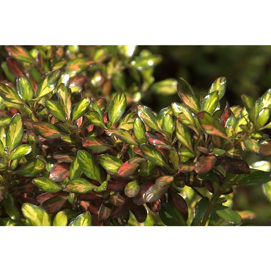 Monrovia 1.6-Gallon Evening Glow Mirror Plant Feature Shrub