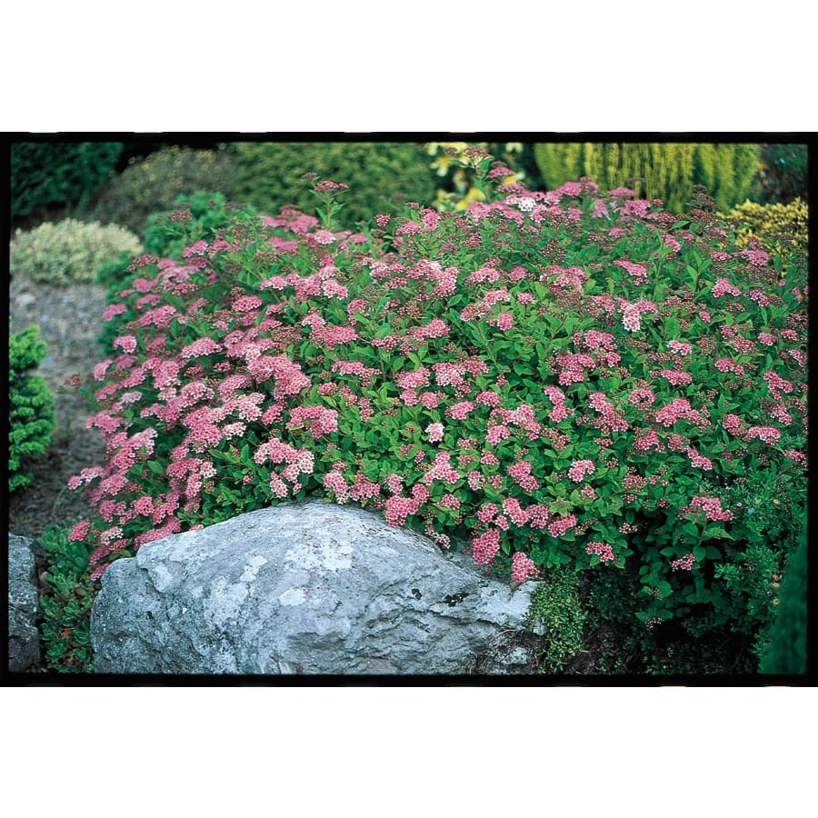 3.25-Gallon Pink Little Princess Spirea Flowering Shrub (L3749)