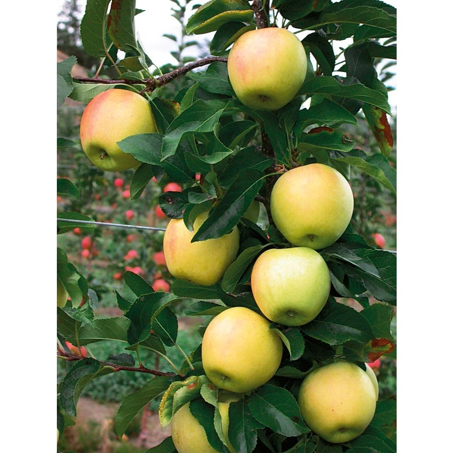 3.25-Gallon Anna Apple Tree (L3840)