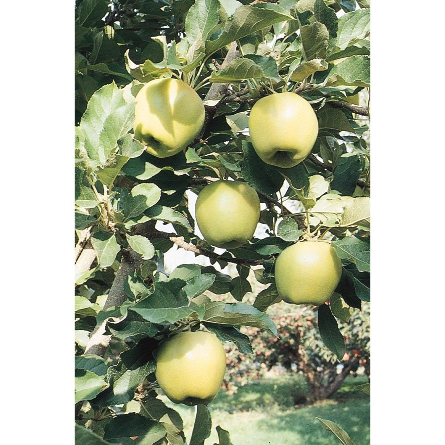 3.25-Gallon Ein Shemer Apple Tree (L1176)