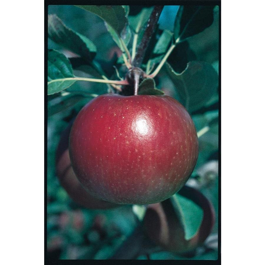 3.25-Gallon Fuji Apple Tree (L10470)