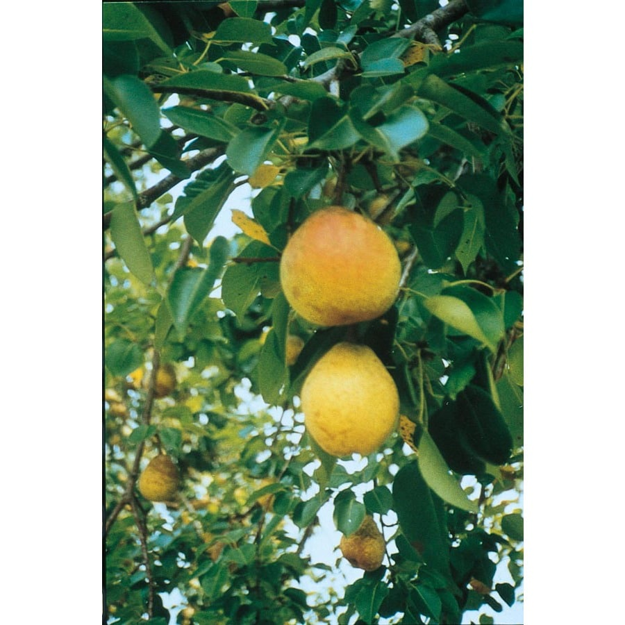 3.25-Gallon Flordahome Pear Tree (L4895)