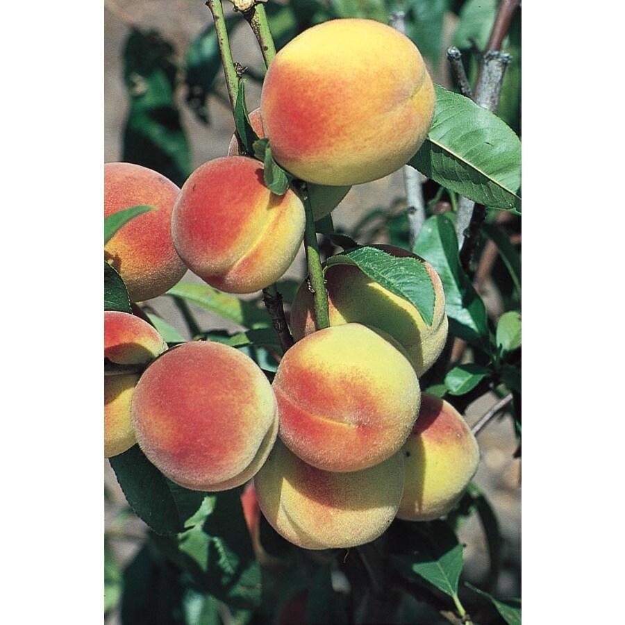 3.25-Gallon Hale Haven Peach Tree (L3225)