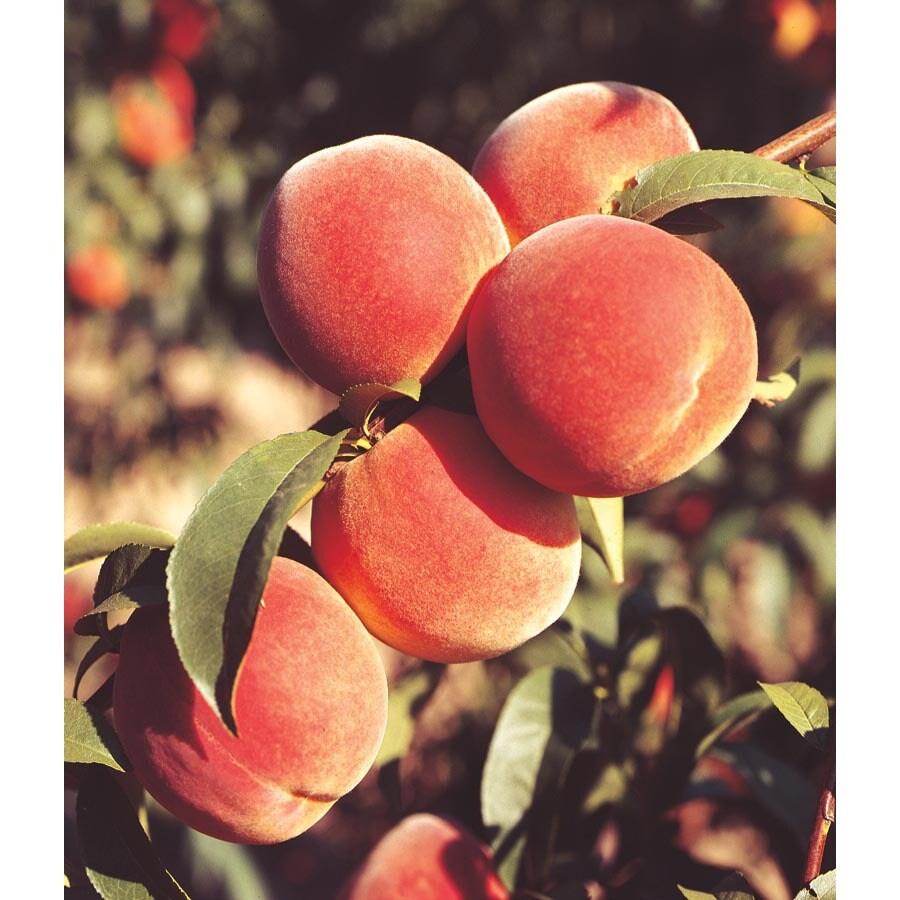 3.25-Gallon June Gold Peach Tree (L3645)