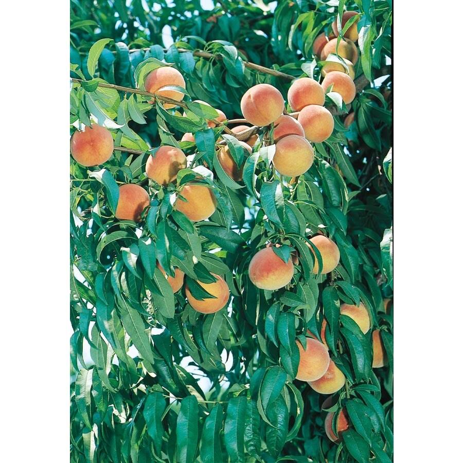 3.25-Gallon Suwannee Peach Tree (LFT018)