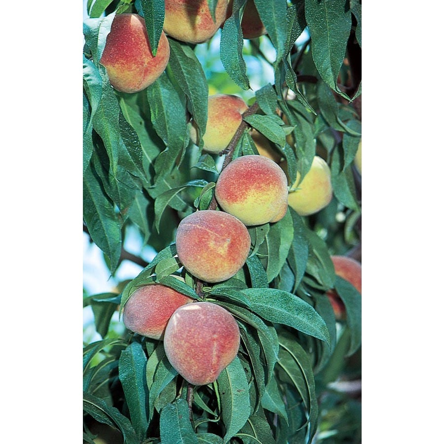 3.25-Gallon Flordaprince Peach Tree (L9375)
