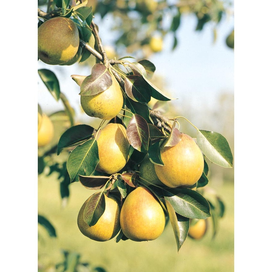 3.25-Gallon Baldwin Pear Tree (L1192)