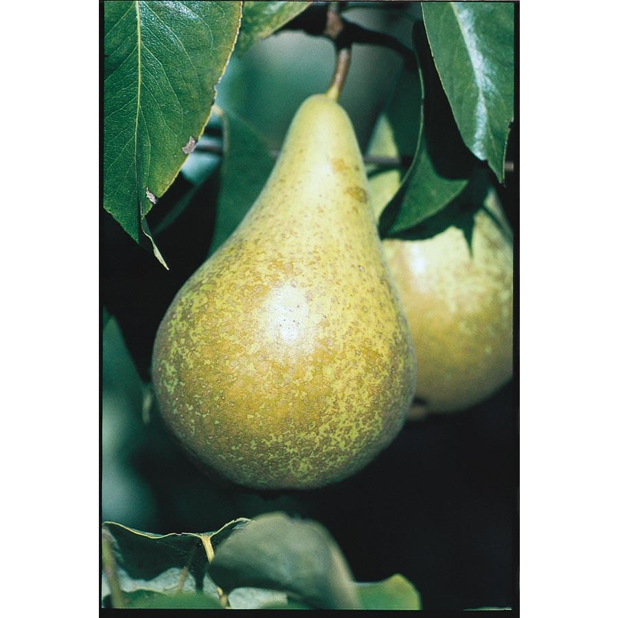 3.25-Gallon Flordahome Pear Tree (L1317)
