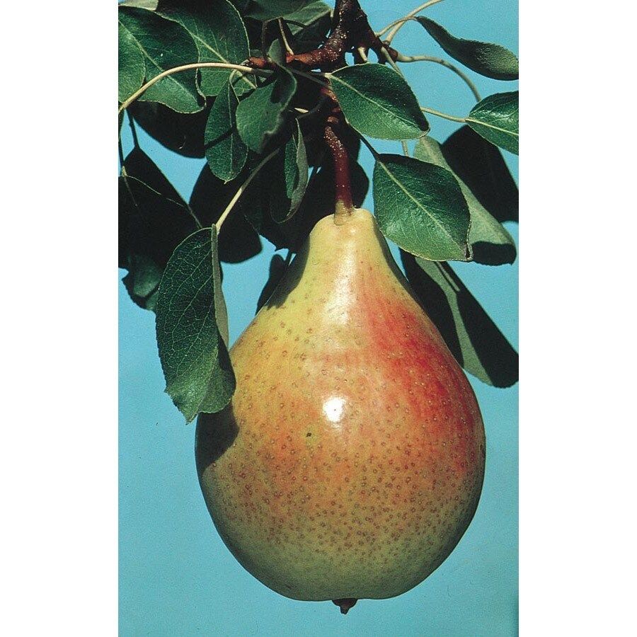 3.25-Gallon Leconte Pear Tree (L1302)