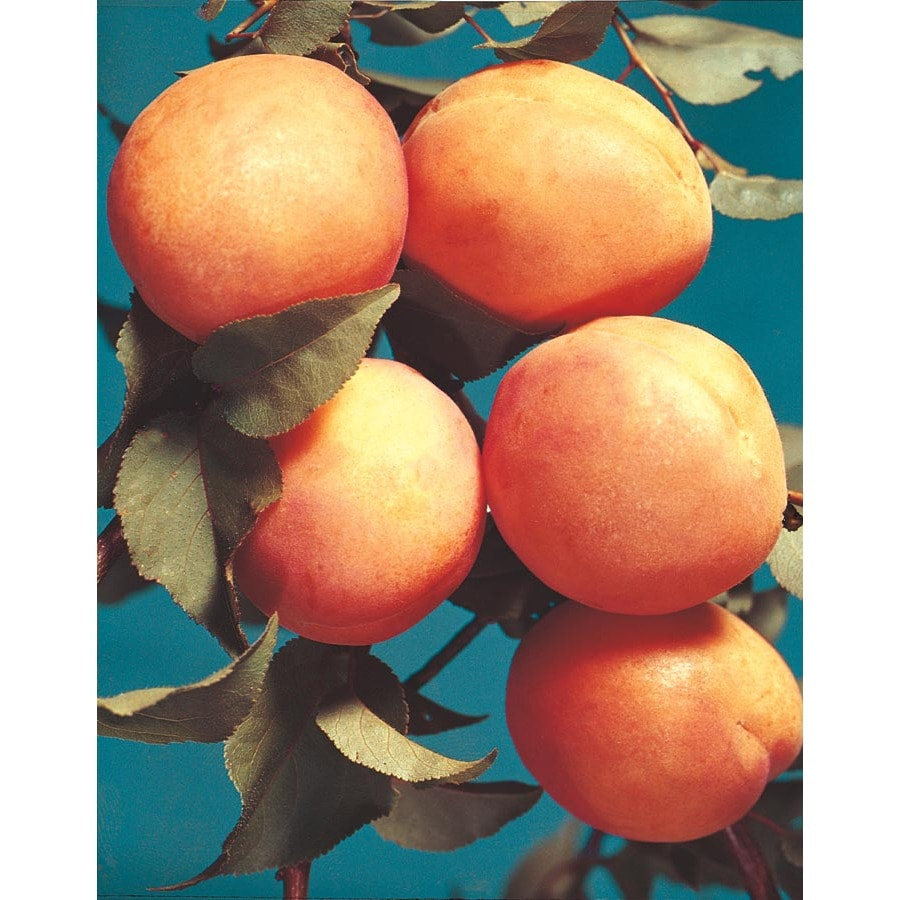 3.25-Gallon Early Golden Apricot Tree (L1310)
