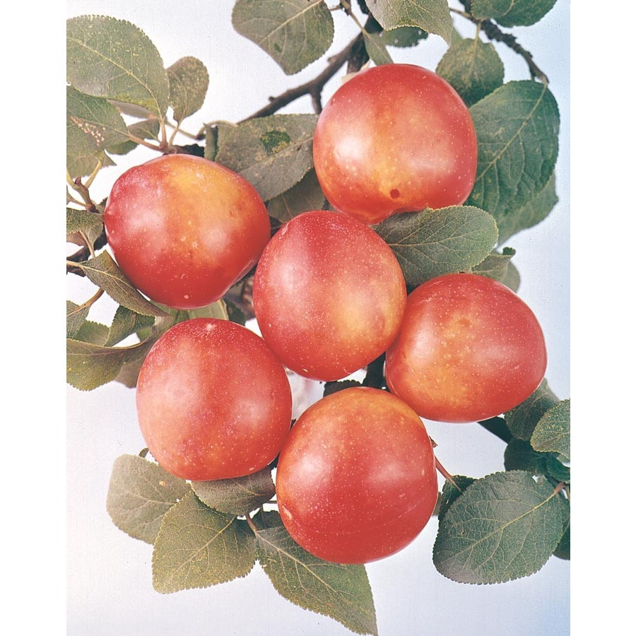3.25-Gallon Bruce Plum Tree (L1345)