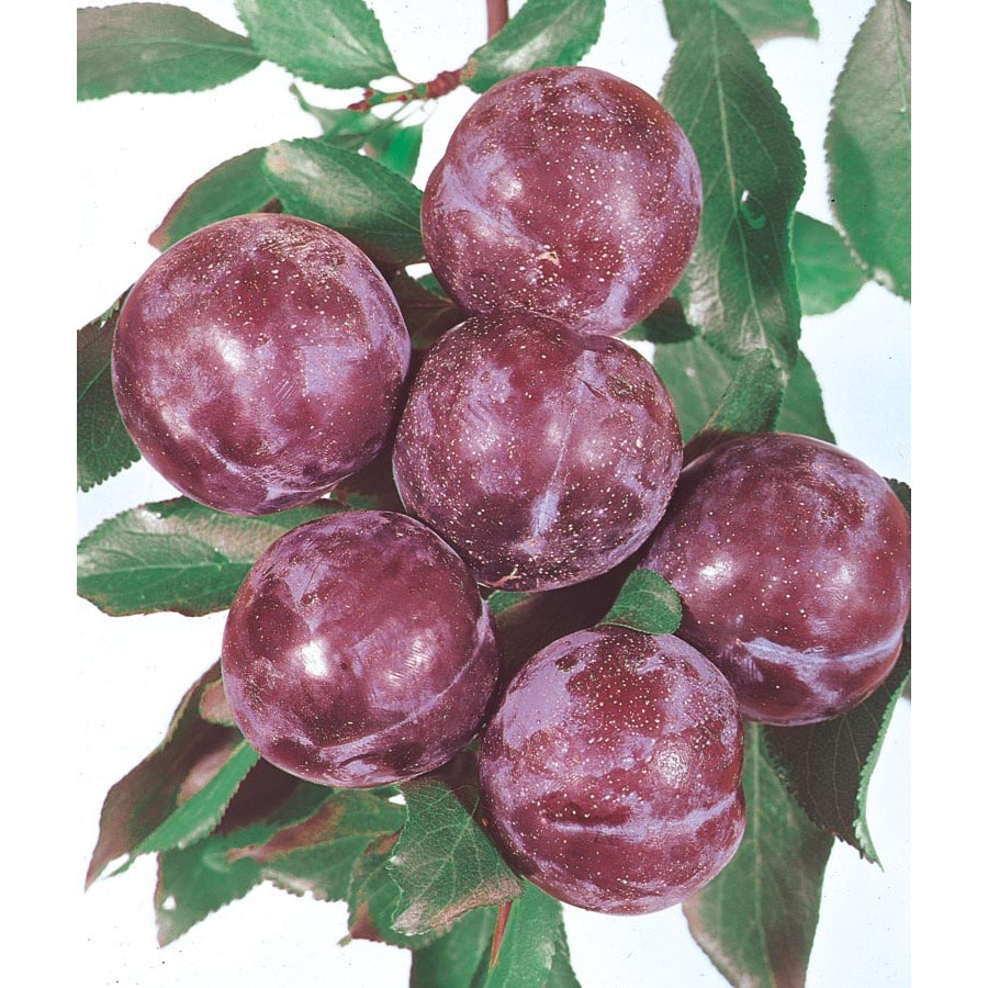 3.25-Gallon Blue Damson Plum Tree (L4565)
