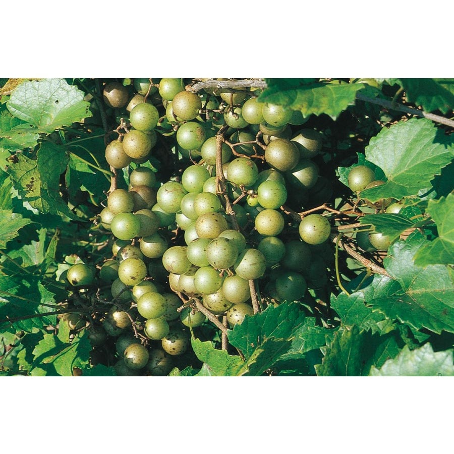 1-Gallon Muscadine Grape Small Plant (L9519)