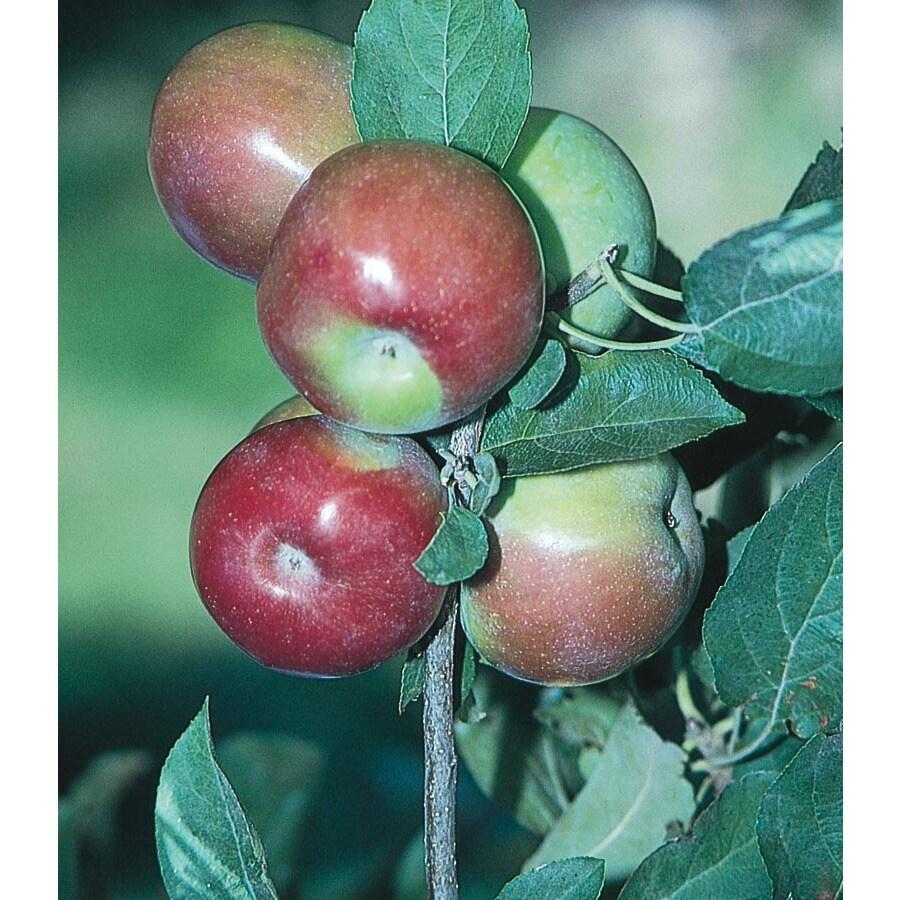 3.25-Gallon Mcintosh Semi-Dwarf Apple Tree (L3590)