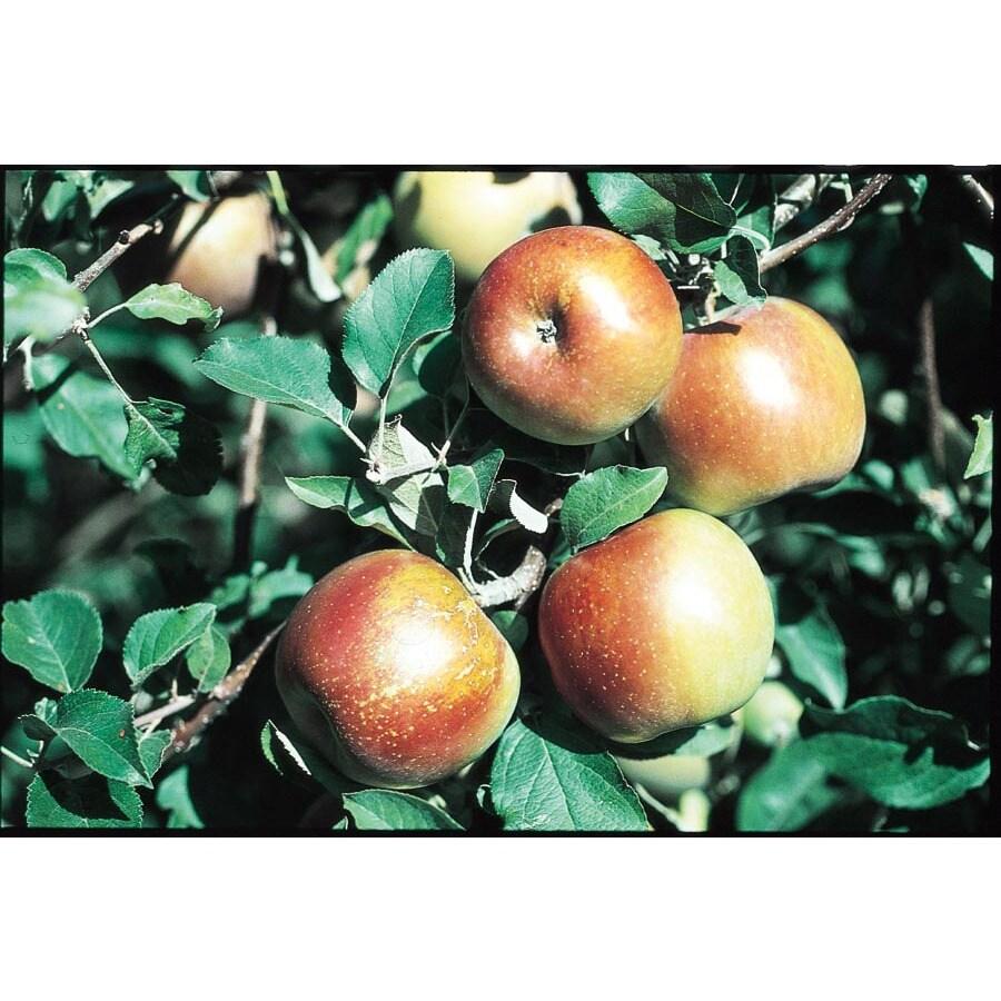 3.25-Gallon Fuji Semi-Dwarf Apple Tree (LW01653)