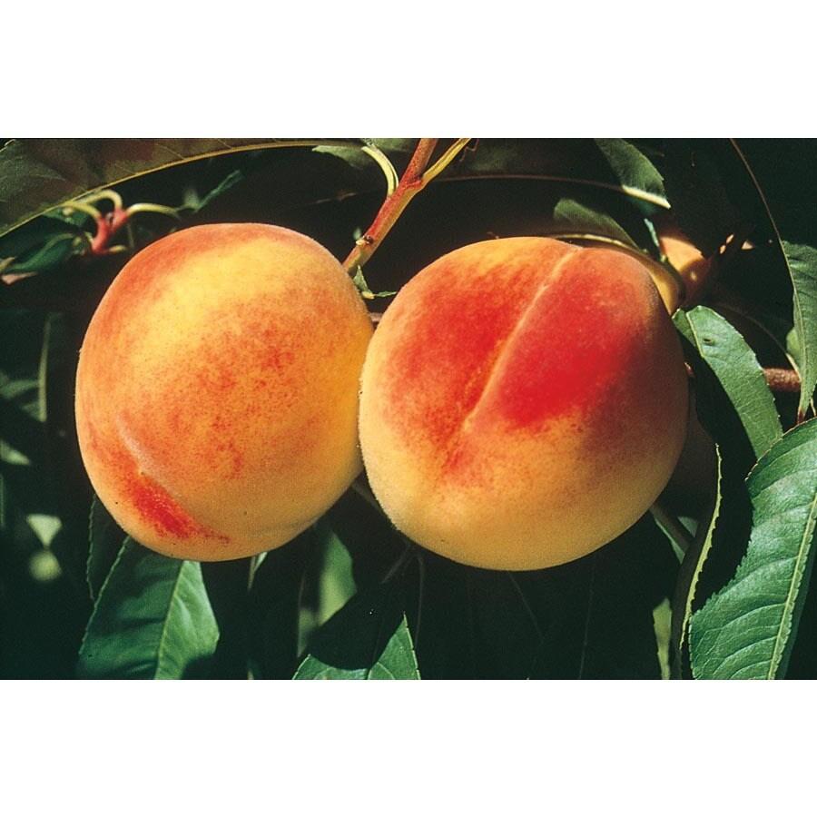 3.25-Gallon ELBerta Semi-Dwarf Peach Tree (L3652)