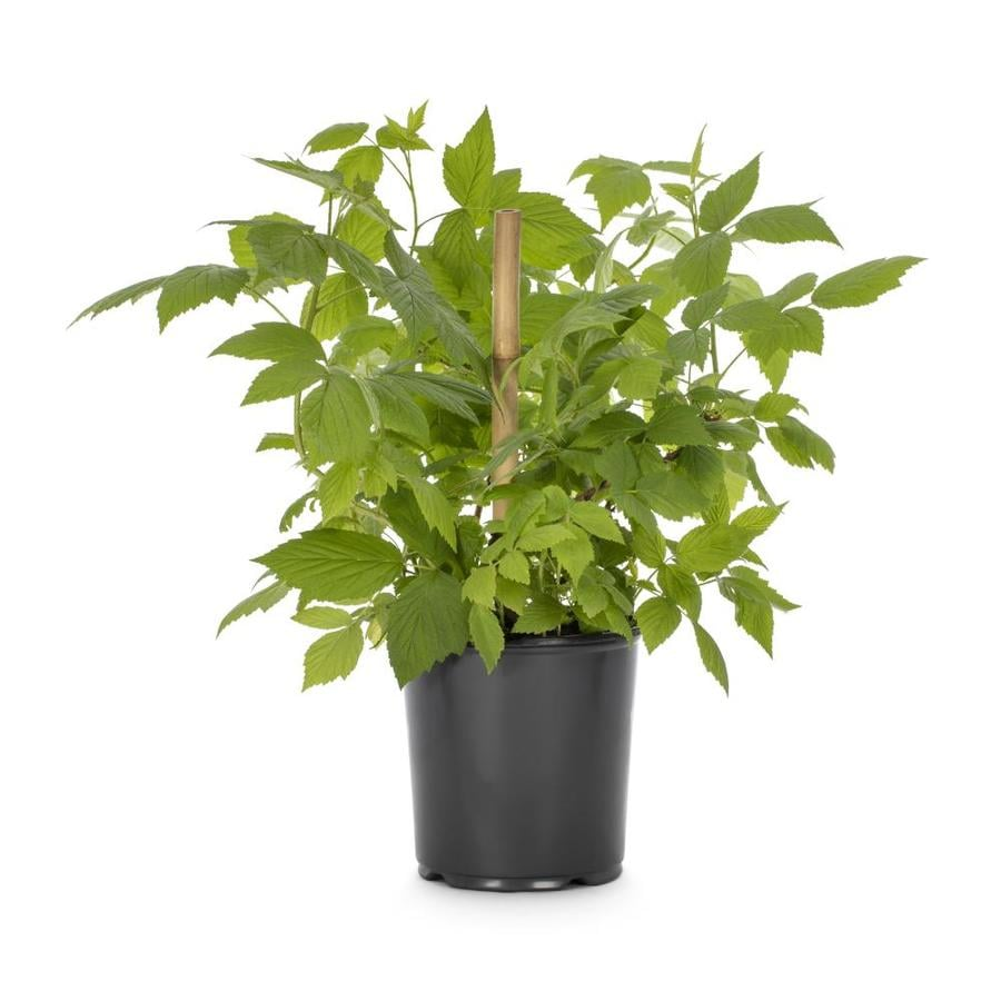 1-Gallon Raspberry Small Plant (L5813)