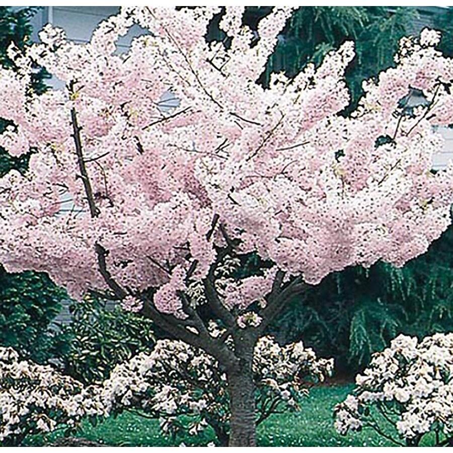 3.25-Gallon Yoshino Flowering Cherry Flowering Tree (L3234)