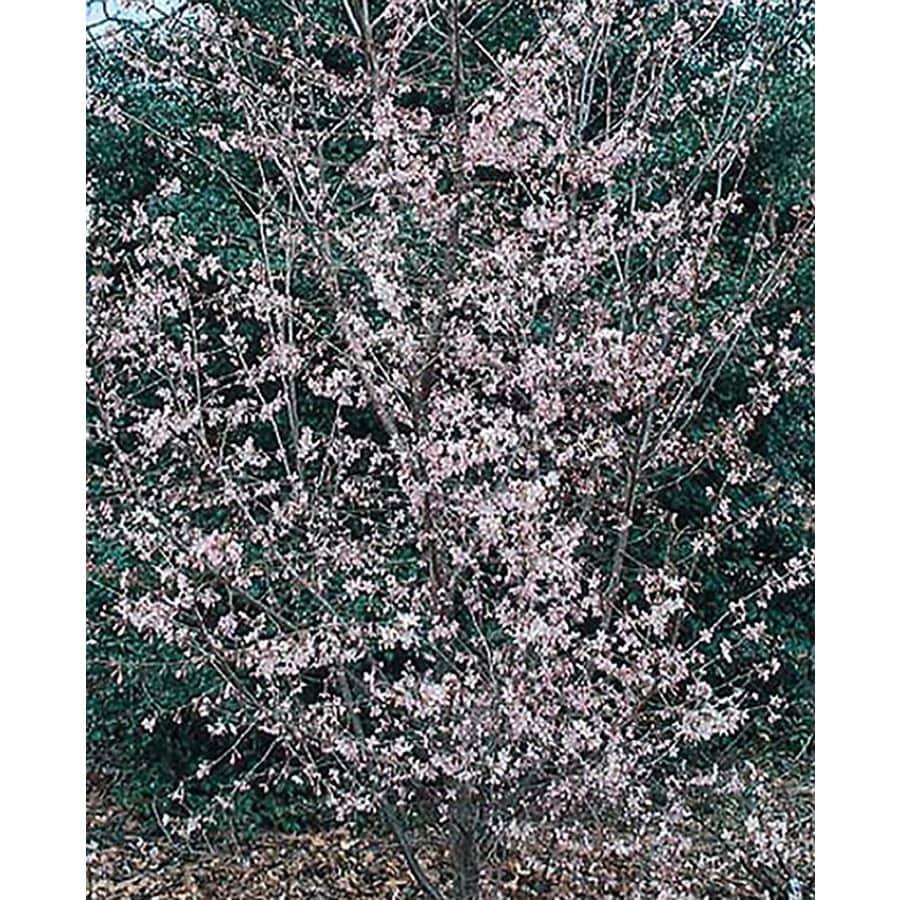 3.25-Gallon Okame Flowering Cherry Flowering Tree (L7100)