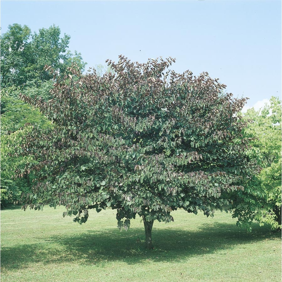 3.25-Gallon Forest Pansy Redbud Flowering Tree (L1071)