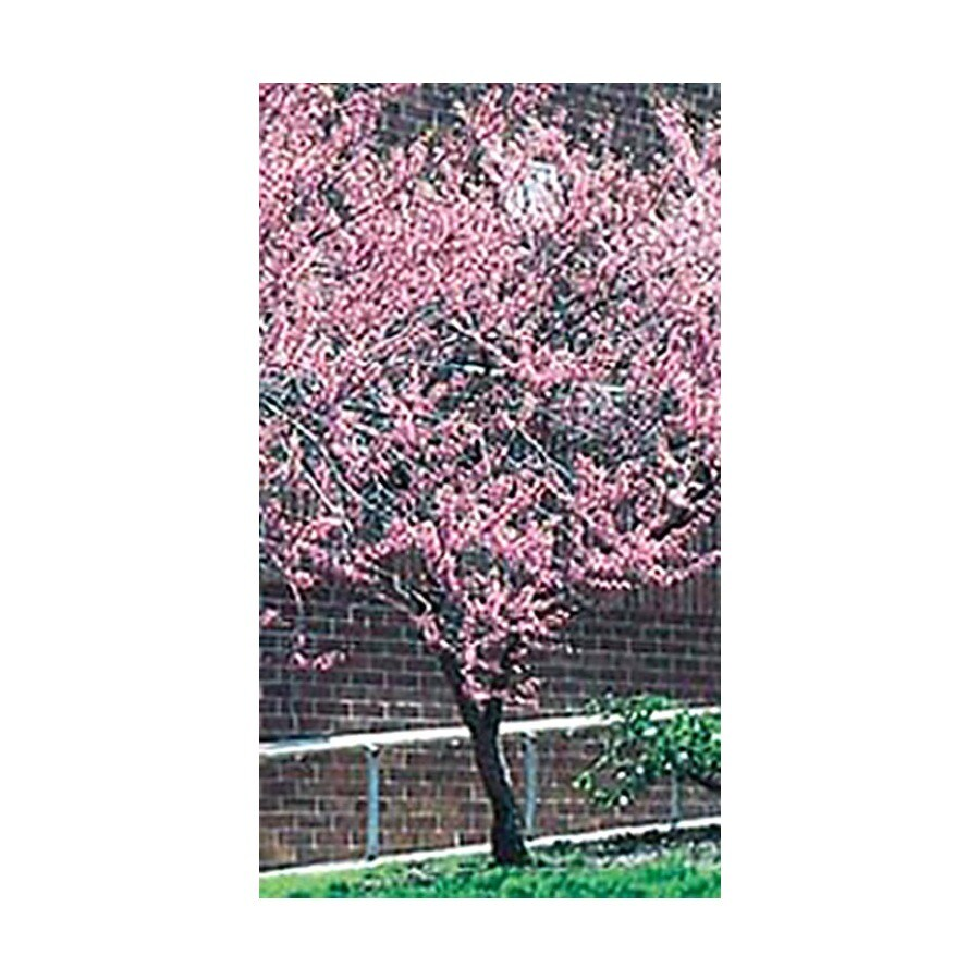 3.25-Gallon Redbud Flowering Tree (L11838)