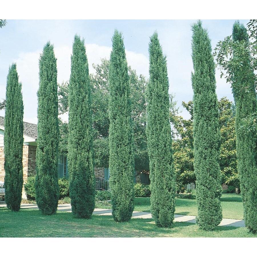 10.25-Gallon Italian Cypress Feature Tree (L3291)