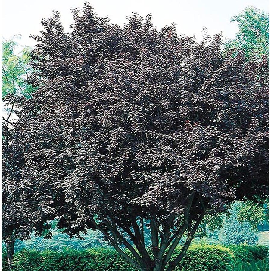 5.5-Gallon Flowering Plum Flowering Tree (L5986)